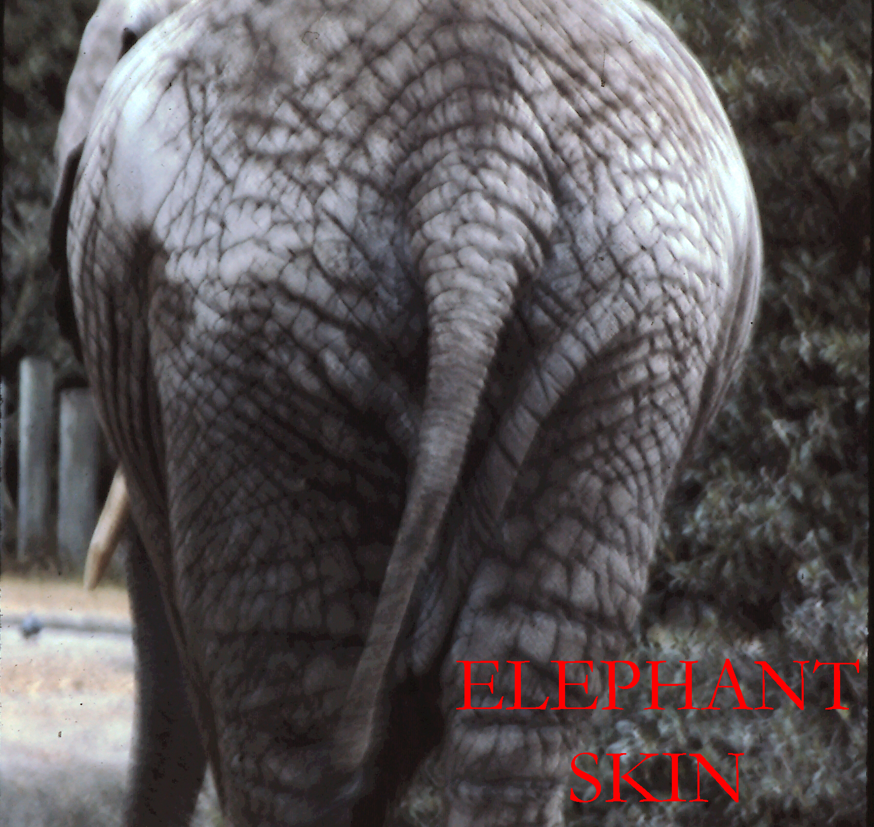 Website Elephant Skin Photo