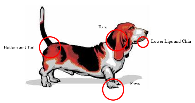 Seborrheic Dermatitis   Animal Dermatology ClinicOily Seborrhea In Dogs
